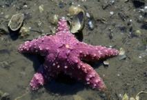 L'étoile de mer américaine, victime du changement climatique ?