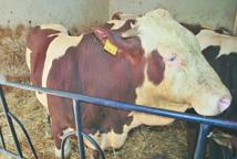 60% du cheptel bovin national  vaccinés contre la fièvre aphteuse