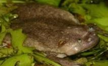 Découverte de six nouvelles espèces de grenouilles