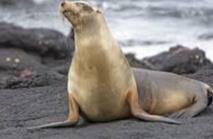 Une toxine dans les algues pourrait affecter la mémoire des lions de mer