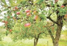 Distribution de plants d'arbres fruitiers aux agriculteurs d'Al Haouz