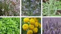 Rencontre à Meknès sur les plantes aromatiques-médicinales