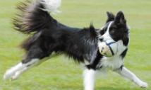 Insolite : Comment mesurer l'intelligence du chien