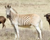 """Le retour du """"quagga"""", animal éteint puis ressuscité en Afrique du Sud"""
