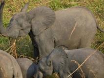 Dans la Garamba se joue une guerre pour la survie des éléphants