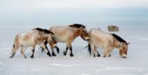 Le dernier cheval sauvage du monde de retour en Russie