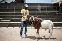Sport, gloire et argent: les combats de béliers au Nigeria