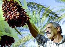 Mobilisation régionale pour protéger le palmier dattier et l'olivier