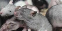 Des souris bègues pour percer le mystère du bégaiement humain