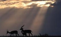 L'habitat d'antilopes menacé par le réchauffement climatique