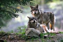 Autoriser des abattages de loups renforce  le braconnage