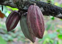 """""""Choco Togo"""", du chocolat bio et 100% togolais"""