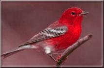 Le secret de la couleur rouge chez les oiseaux percé