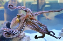 Explosion du nombre de céphalopodes dans les océans