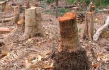 La Casamance menacée de déforestation d'ici deux ans