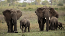 Les éléphants de la réserve tanzanienne de Selous pourraient disparaître d'ici 2022