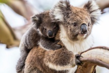 Le koala australien vit des heures bien sombres