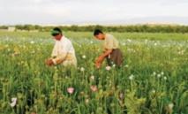 Dans le Sud afghan, joie et jeux pour fêter une récolte de pavot exceptionnelle
