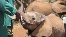 L'éléphanteau domestique, dernière lubie des nouveaux riches sri-lankais