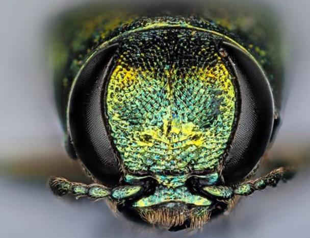 Un minuscule insecte tue des millions d'arbres en Amérique du Nord