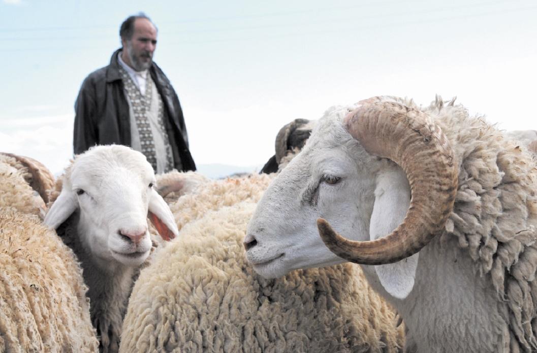 Le mouton de la discorde : Les autorités du préside occupé de Mellilia interdisent l'importation d'ovins marocains pour l'Aïd
