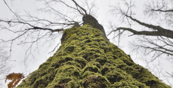 La mousse à l'origine des quantités d'oxygène ayant permis la vie animale