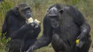 Les chimpanzés préfèrent coopérer qu'être en compétition