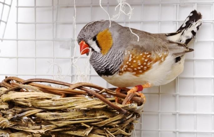 Pourquoi des oiseaux chantent à leurs œufs