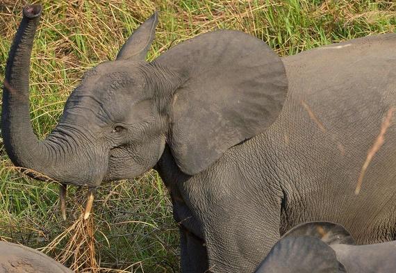 Déclin des éléphants des savanes