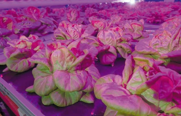 Des salades cultivées dans des fermes verticales en Belgique