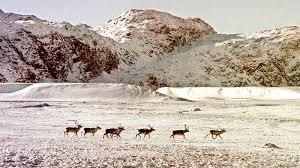 Déclin troublant des hardes de caribous au Canada