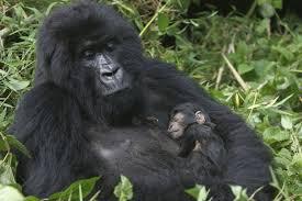 Amour et kalachnikovs au secours des gorilles des montagnes en RDCongo