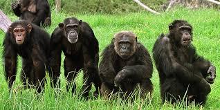 Chimpanzés et bonobos se sont croisés dans  le passé