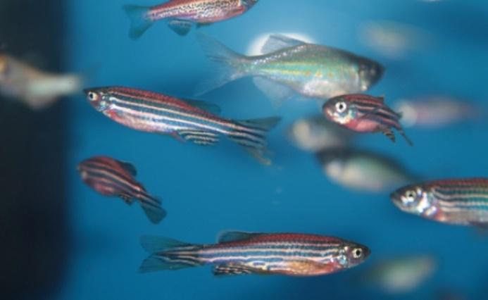 Le poisson zèbre peut être la clé d'un traitement réparateur de la moelle épinière