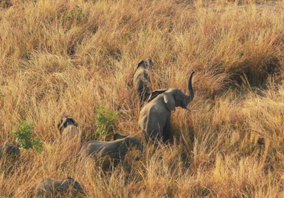 Les tueries d'éléphants s'intensifient