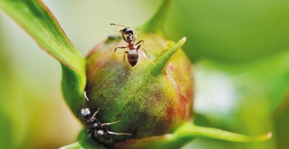 """Des fourmis """"agricultrices"""" bien avant l'Homme"""
