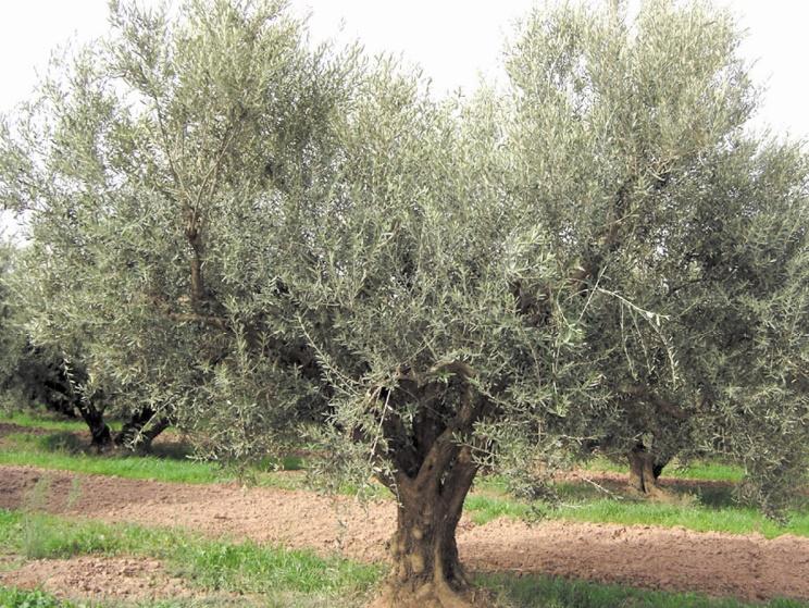 L'olivier vecteur de lutte contre les changements climatiques