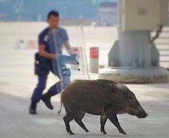 Insolite : Chasse au cochon  à l'aéroport