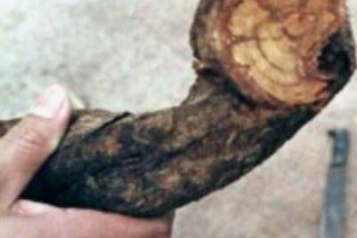 L'ayahuasca, psychotrope à la mode aux Etats-Unis et en psychiatrie