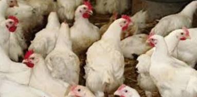 Seulement 8% du poulet produit au Maroc est contrôlé