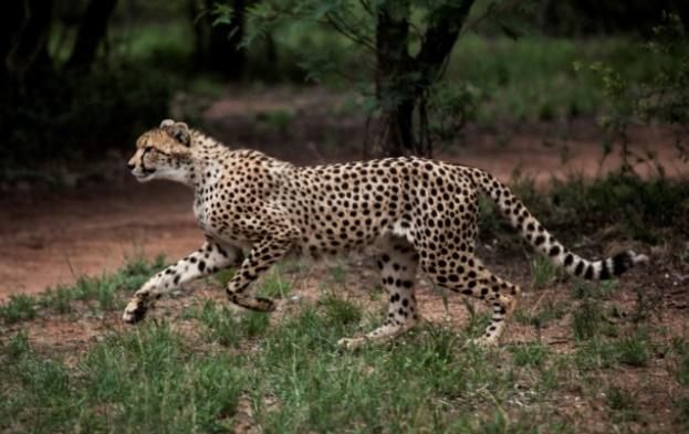 Mobilisation pour sauver les guépards menacés d'extinction