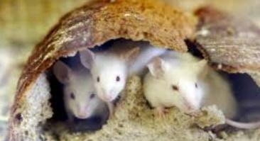 Des souris transformées en féroces prédateurs