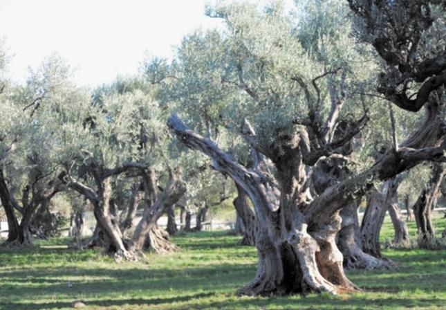 Workshop à Marrakech sur l'olivier en Méditerranée