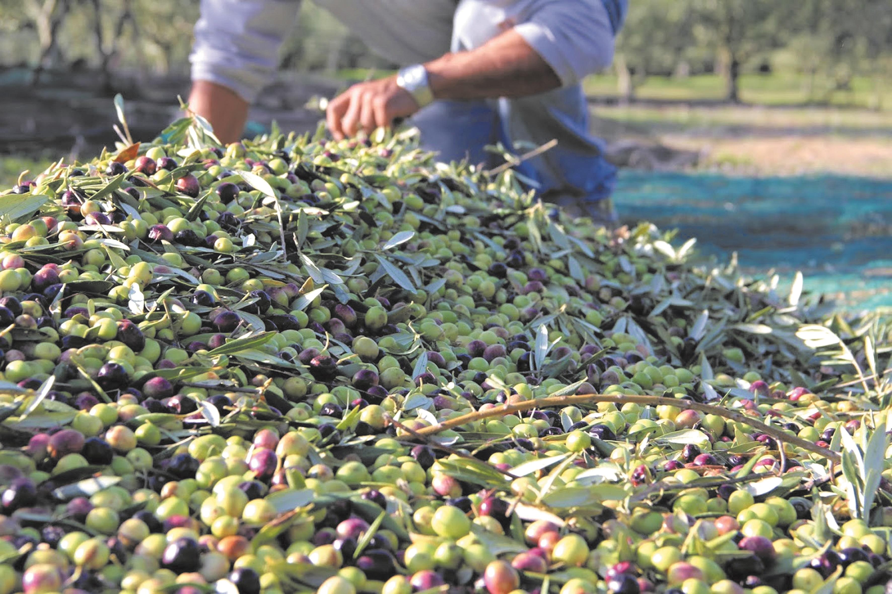 L' oléiculture a le vent en poupe dans l'Oriental