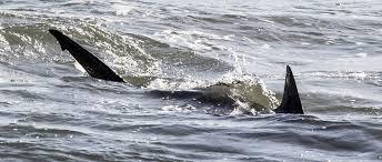 Insolite : Un requin dévore une chienne