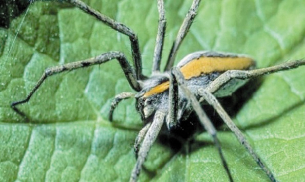 Les araignées ont un appétit vorace