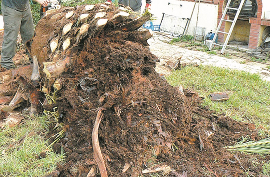 Empêcher la progression du charançon rouge du palmier