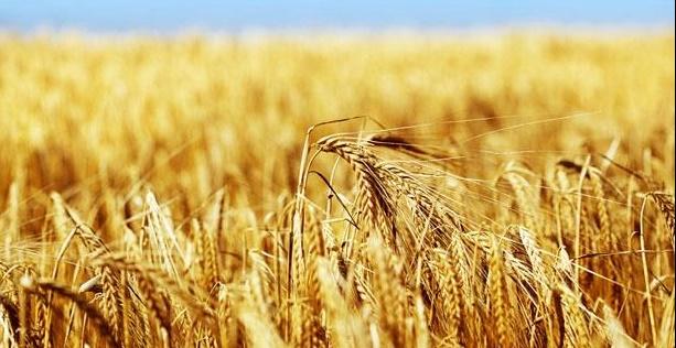 La production céréalière devrait atteindre le chiffre record de 102 millions quintaux