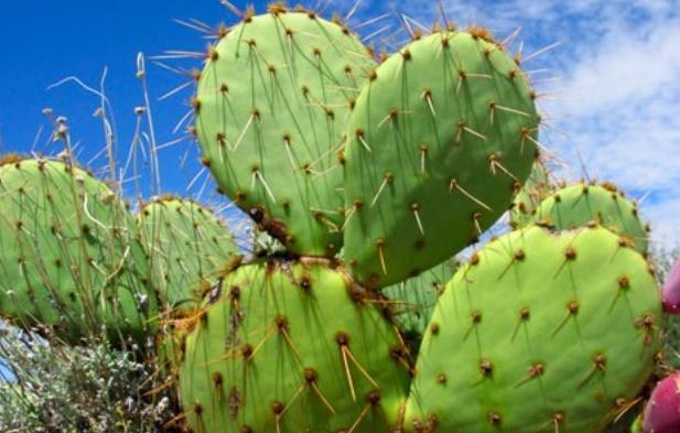 Valorisation du cactus local à Sidi Ifni