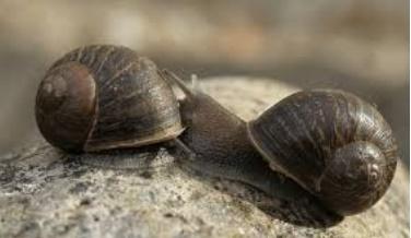 Insolite : Apparier un escargot gaucher